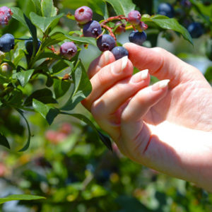 best blueberry plant for your area