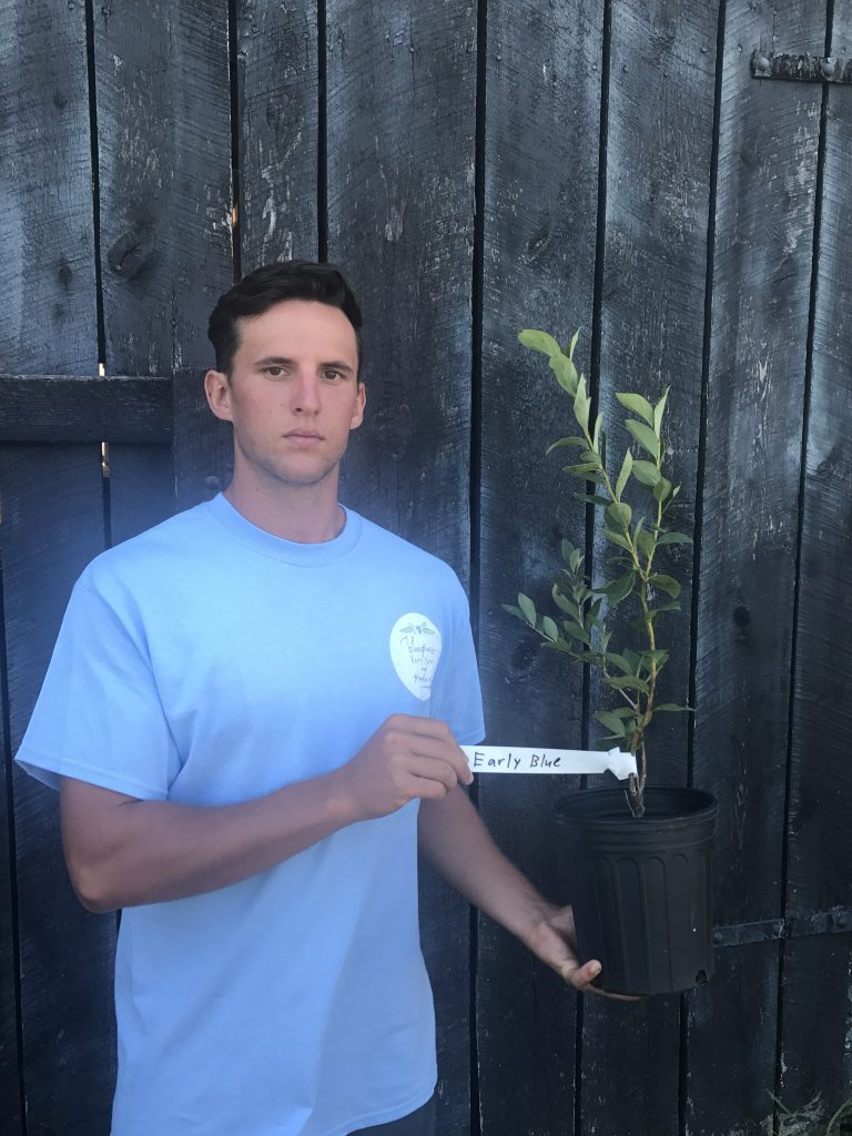 large blue ray blueberry plants
