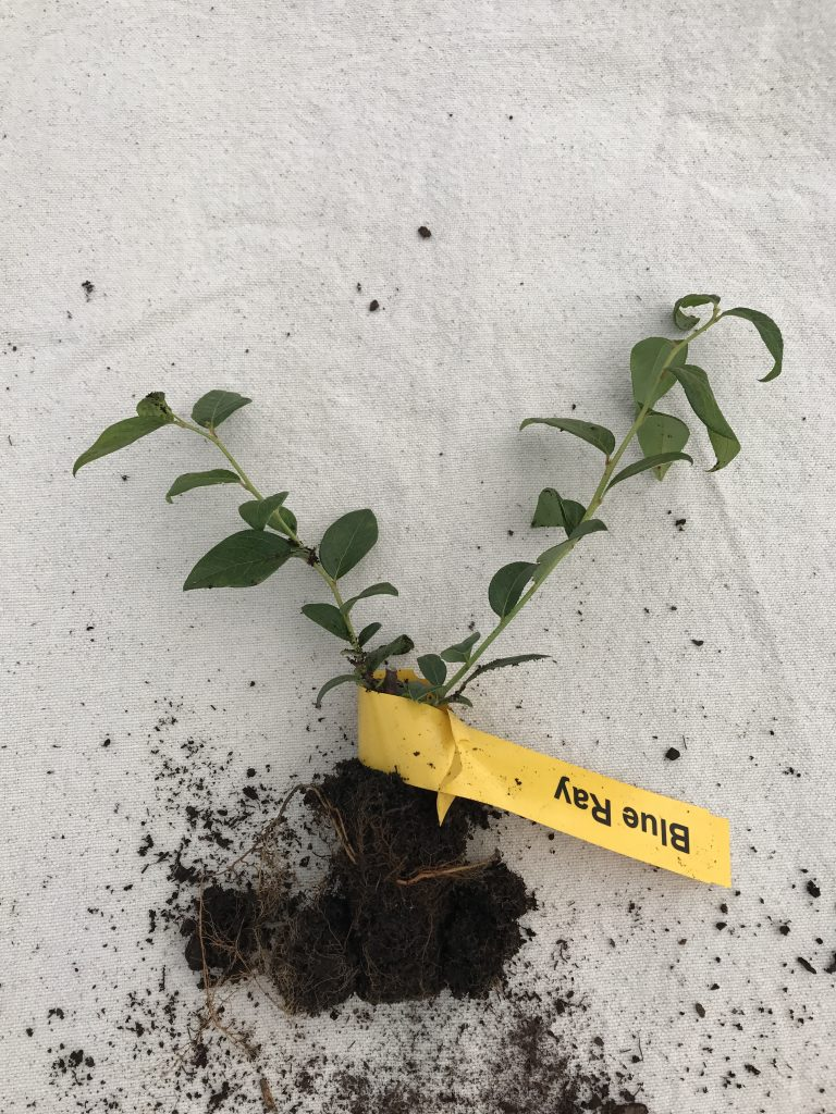 small blue ray blueberry plants