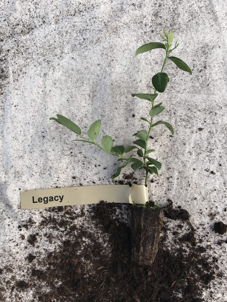 small Legacy blueberry plants